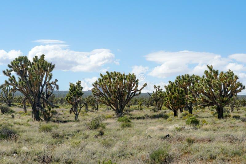 Nationalpark des Joshua-Baums Kalifornien, USA lizenzfreie stockbilder