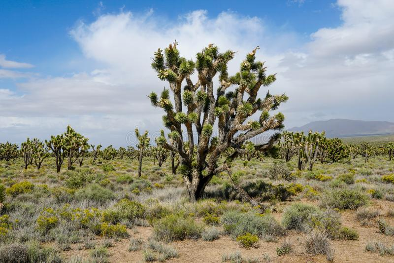 Nationalpark des Joshua-Baums Kalifornien, USA lizenzfreies stockbild
