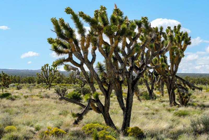 Nationalpark des Joshua-Baums Kalifornien, USA stockfotografie