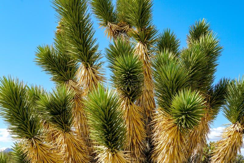 Nationalpark des Joshua-Baums Kalifornien, USA lizenzfreie stockfotografie