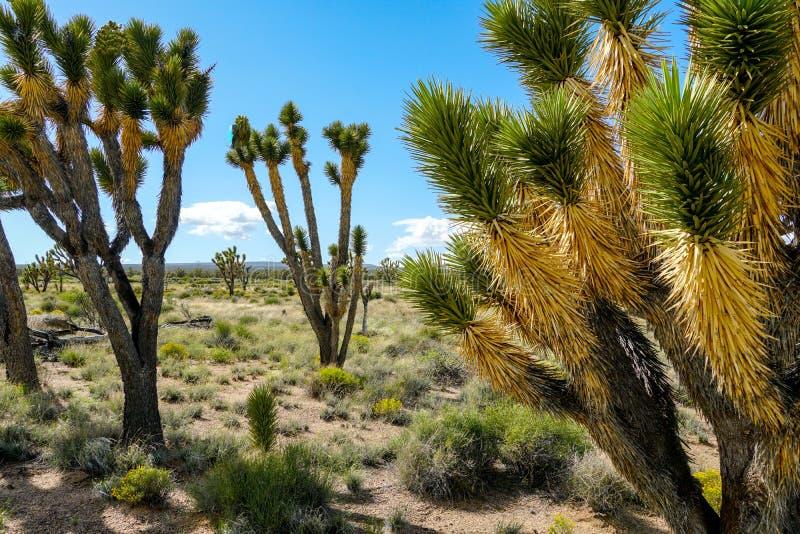 Nationalpark des Joshua-Baums Kalifornien, USA lizenzfreies stockfoto