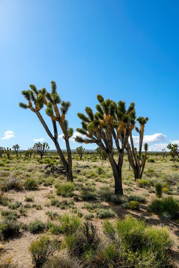 Nationalpark des Joshua-Baums Kalifornien, USA stockbilder