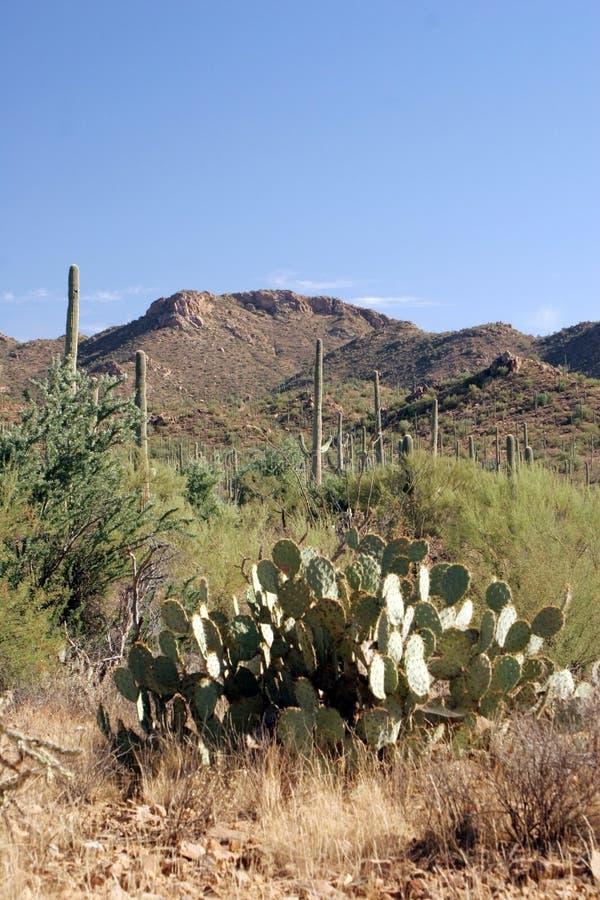 Nationalpark des Saguaro lizenzfreies stockfoto