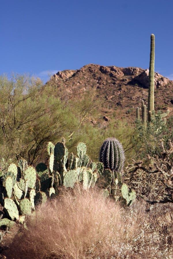Nationalpark des Saguaro stockbild