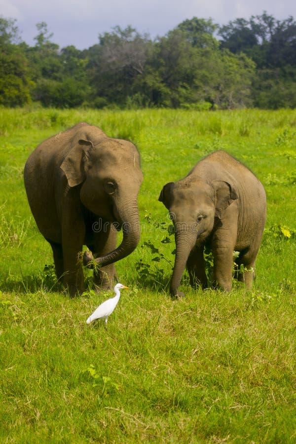 Nationalpark för asiatisk lös Eliphant - Sri Lanka minneriya arkivbilder