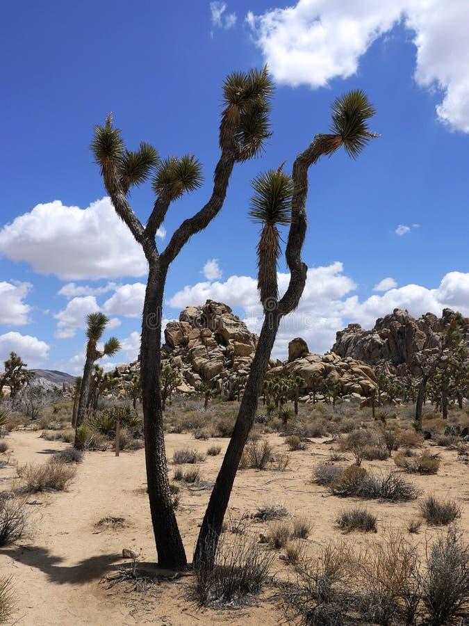 Nationalpark för Joshua träd Kalifornien - USA royaltyfri bild