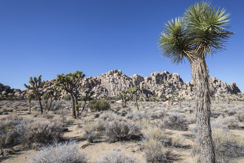 Nationalpark för Joshua Tree royaltyfria bilder