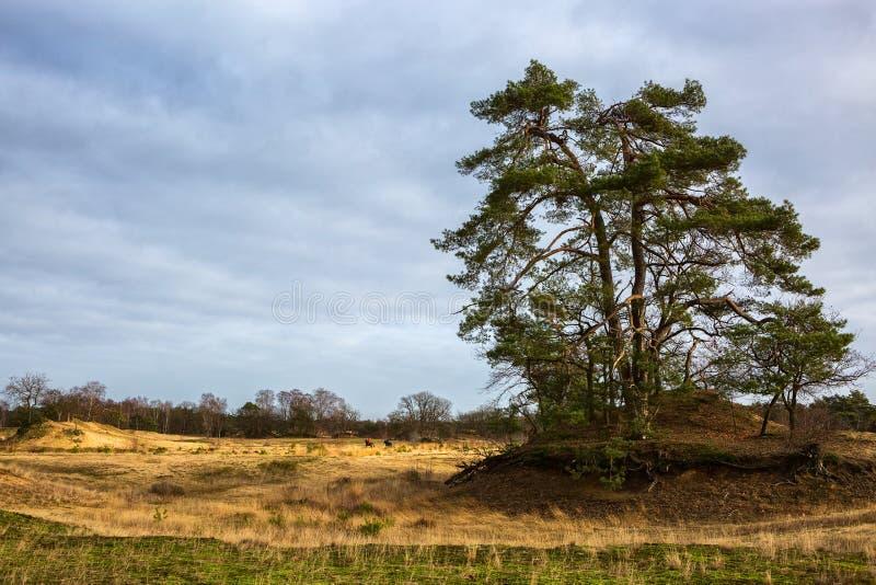 Nationalpark för Loonse en Drunense Duinen, norr Brabant, Nederländerna royaltyfria bilder