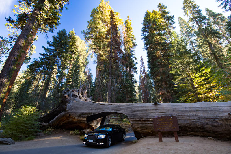 Nationalpark för tunnelinloggningssequoia arkivbild