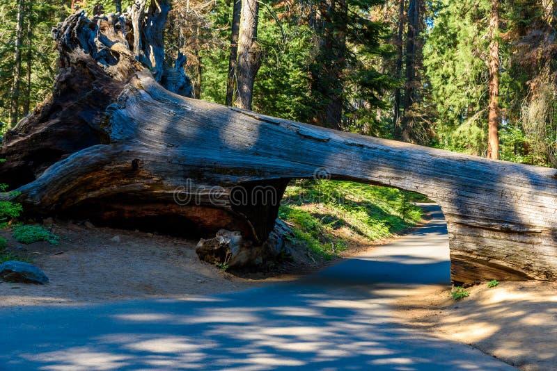 Nationalpark f?r tunnelinloggningssequoia Tunnel som 8 ft ?r h?g, 17 ft vitt Kalifornien F?renta staterna royaltyfri fotografi