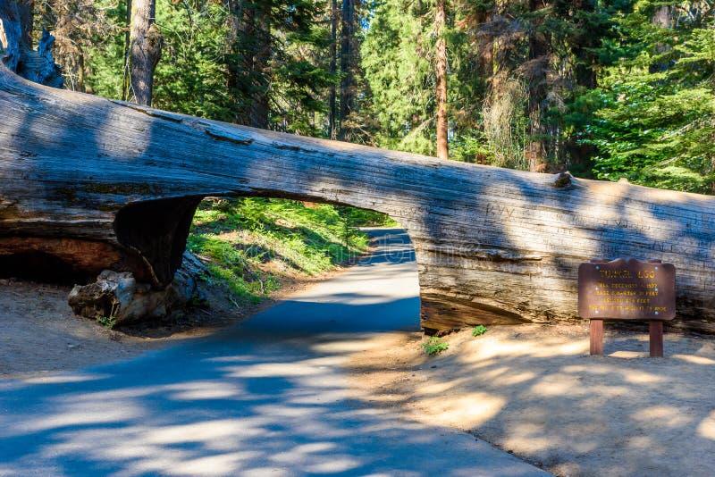Nationalpark f?r tunnelinloggningssequoia Tunnel som 8 ft ?r h?g, 17 ft vitt Kalifornien F?renta staterna fotografering för bildbyråer