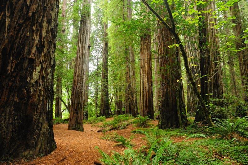 nationalparkredwoodträd arkivbild