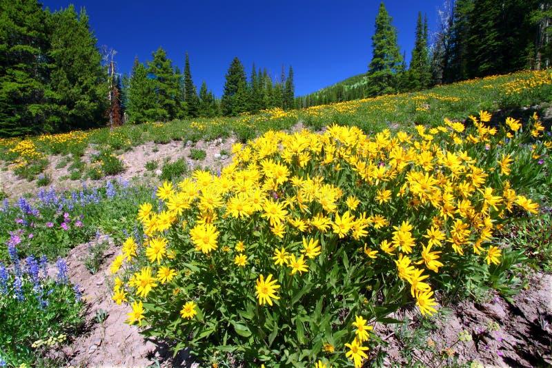 nationalparkvildblommar yellowstone royaltyfria foton