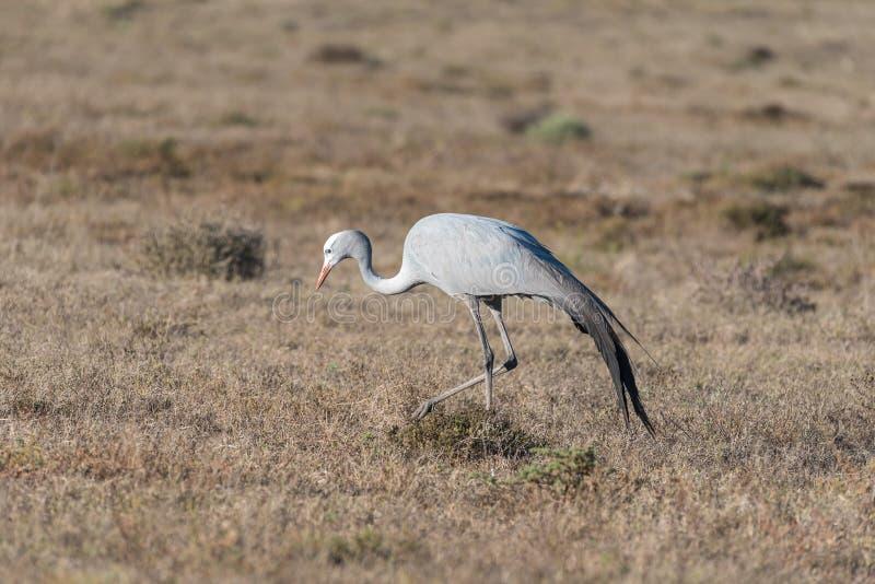 Nationell fågel av Sydafrika, den blåa kranen royaltyfri foto