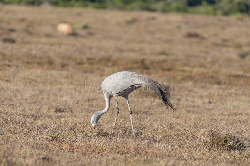 Nationell fågel av Sydafrika, den blåa kranen arkivbild