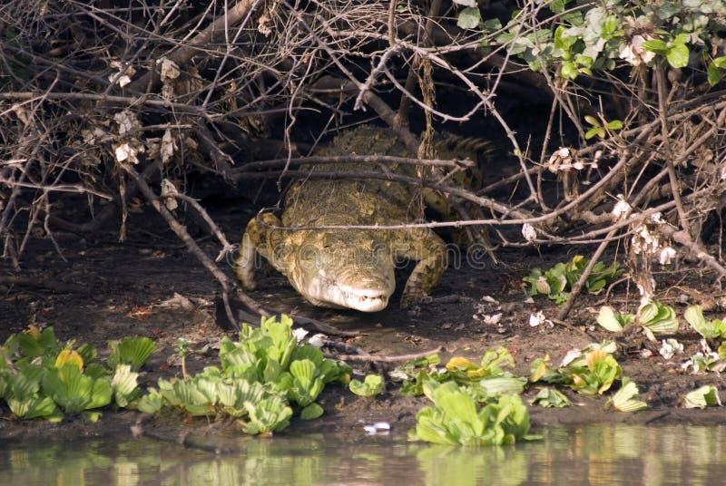 nationell nile för krokodil park selous tanzania royaltyfri bild