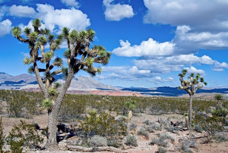 Nationell sylt Joshua Trees för Mojave royaltyfri bild