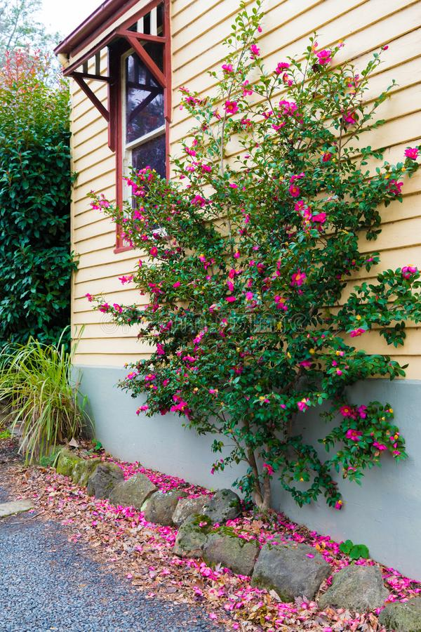 Native Australian flower tree next to house wall stock photography