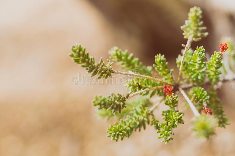 Native australian grevillea plant with tiny red flowers about to bloom royalty free stock photo