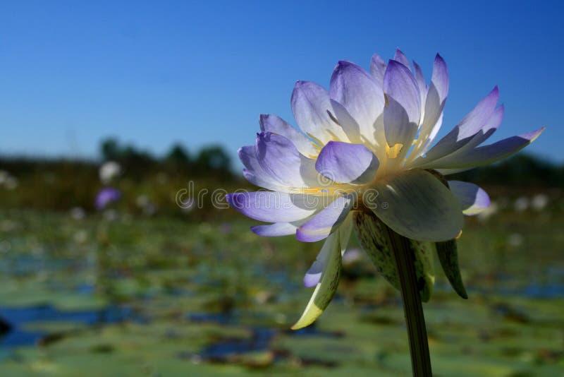 Native Australian water lilies Nymphaea violacea in the wild. Fogg Dam, Darwin, Northern Territory, Australia stock image
