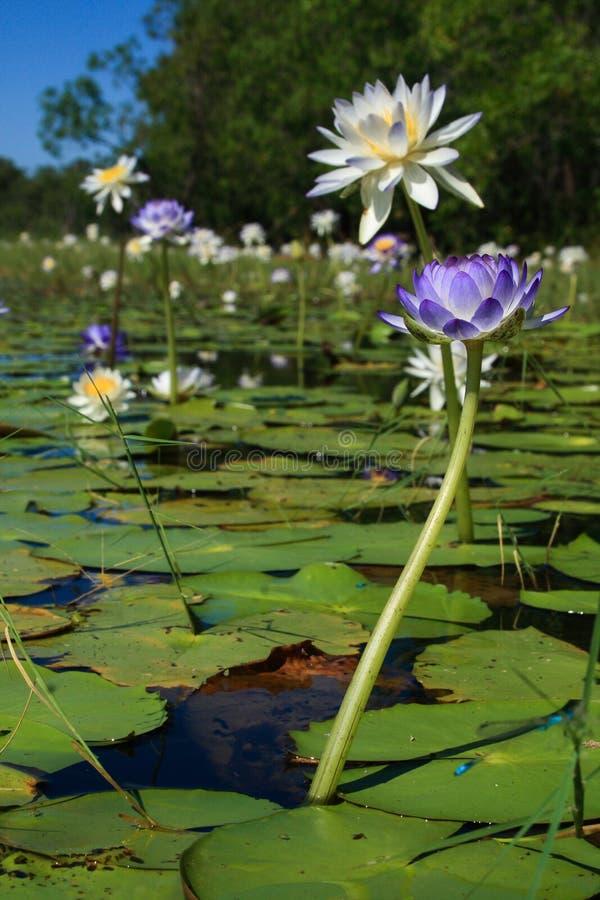 Native Australian water lilies Nymphaea violacea in the wild. Fogg Dam, Darwin, Northern Territory, Australia royalty free stock image