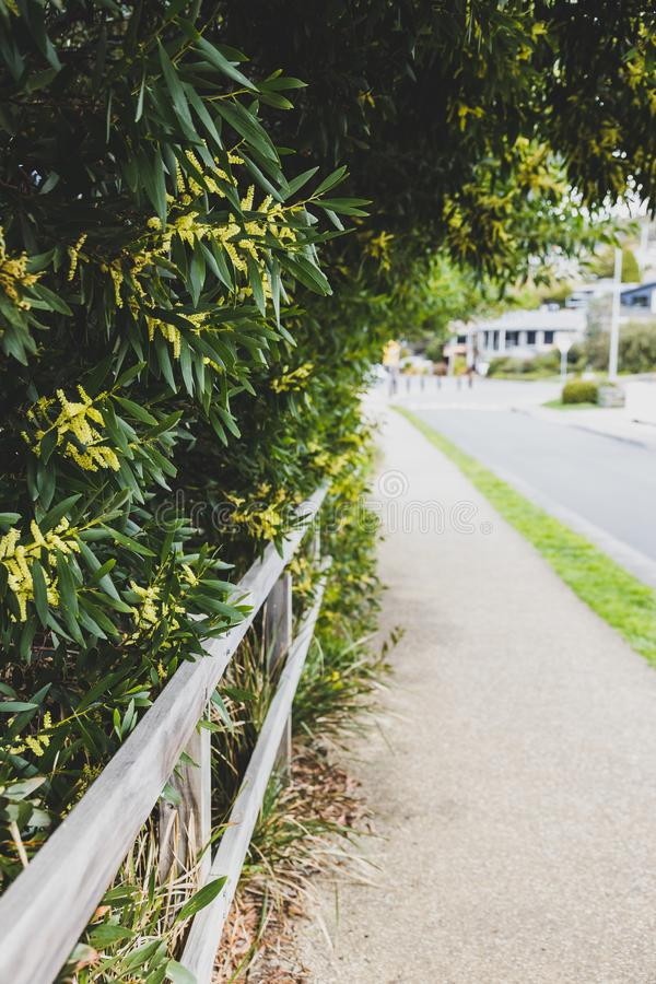 Native Australian wattle tree growing next to a fence on the side of the road stock image