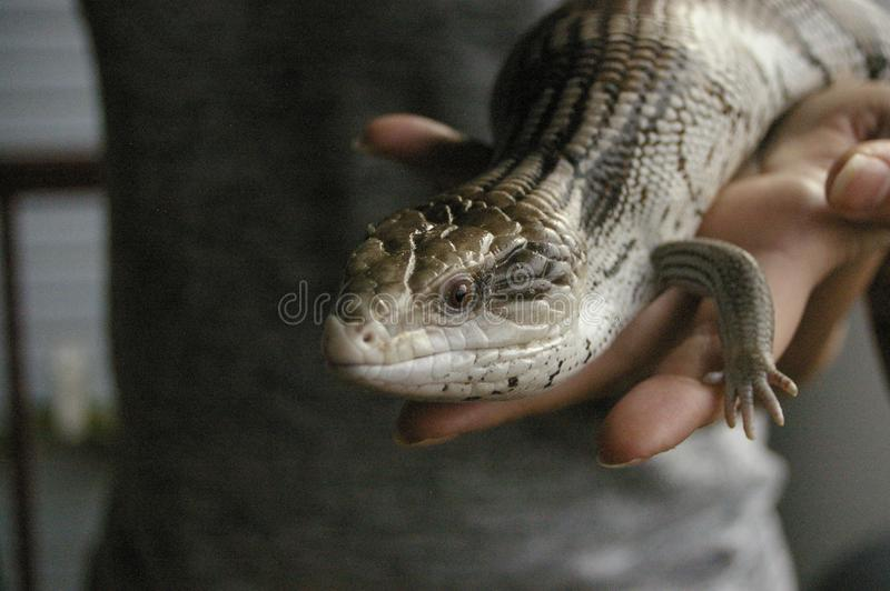 native blue-tongued lizard being held stock photography