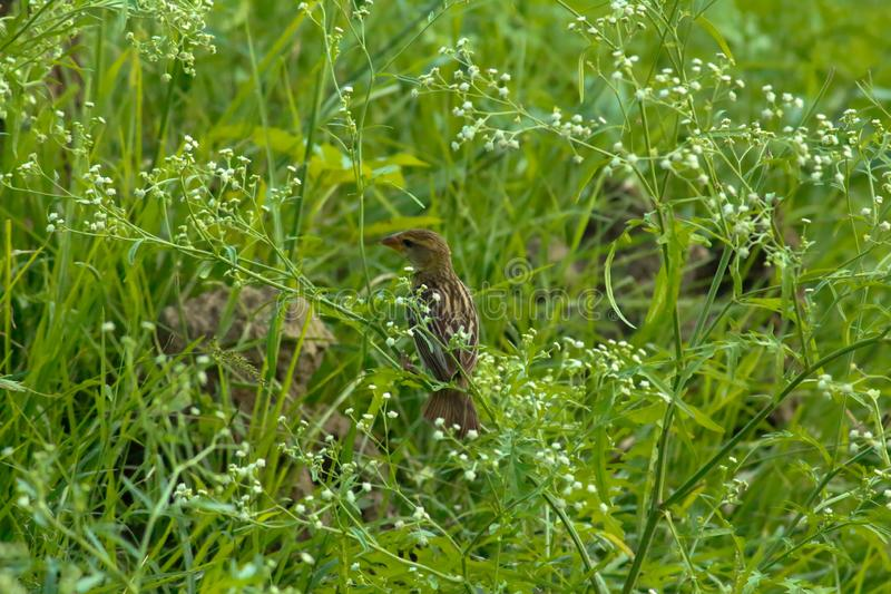 Native brown color sparrow was found in the plants. Poses sideways as I pass by, right away clicked to capture. royalty free stock photography