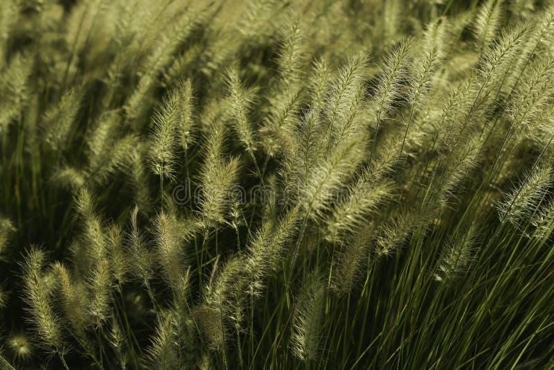 Native Decorative Landscape Grass. A full frame closeup image of beautiful sunlit standing native Texas Decorative Landscape yellow green grass royalty free stock photo