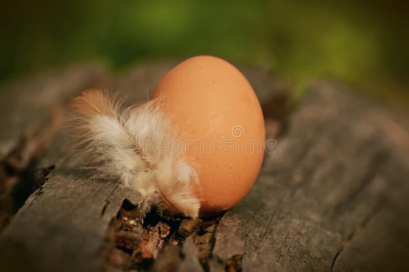 Native Egg Beside White Feather on Brown Tree Log stock photo