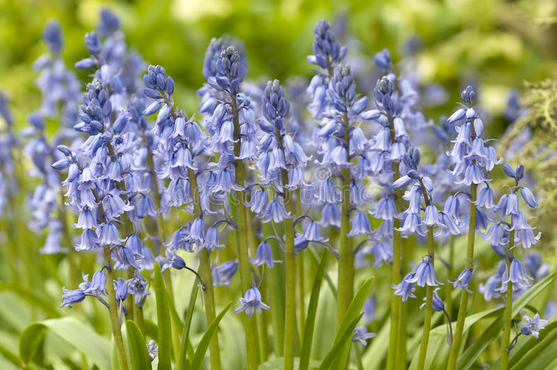 Native english bluebells. In springtime royalty free stock image