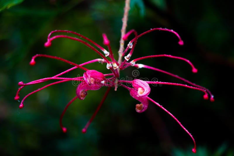 Native Flower after the Rain. Like a spider just hanging after the rain a native flower in its last days waits stock photography