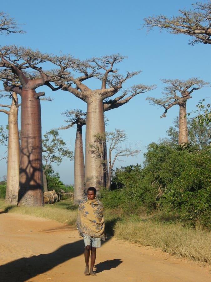Native Malagsy near Baobab trees stock photography