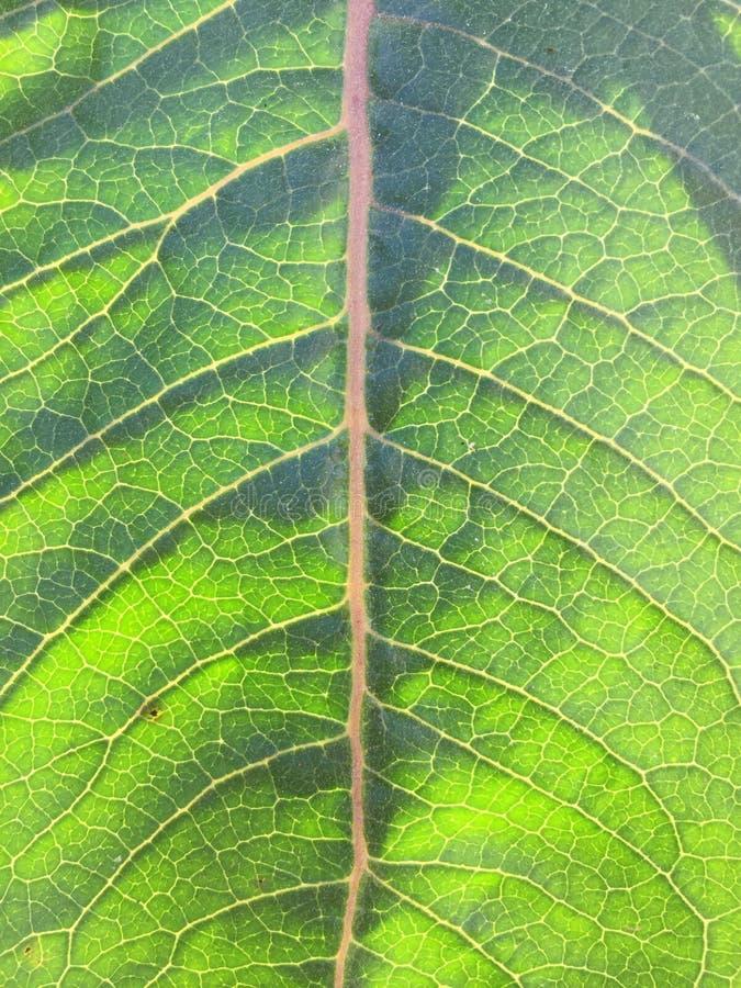 Native Milkweed Leaf. Summertime native milkweed stock photo