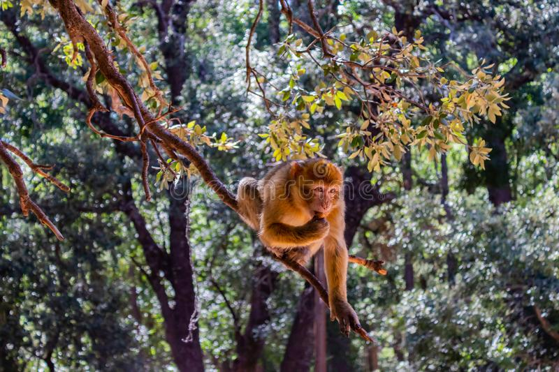 Native monkey in the cedar forest, Azrou, Morocco. A nice place to be royalty free stock photography
