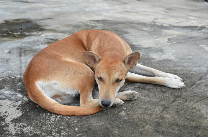 Download Native thai dog stock image. Image of native, domestic - 21021831