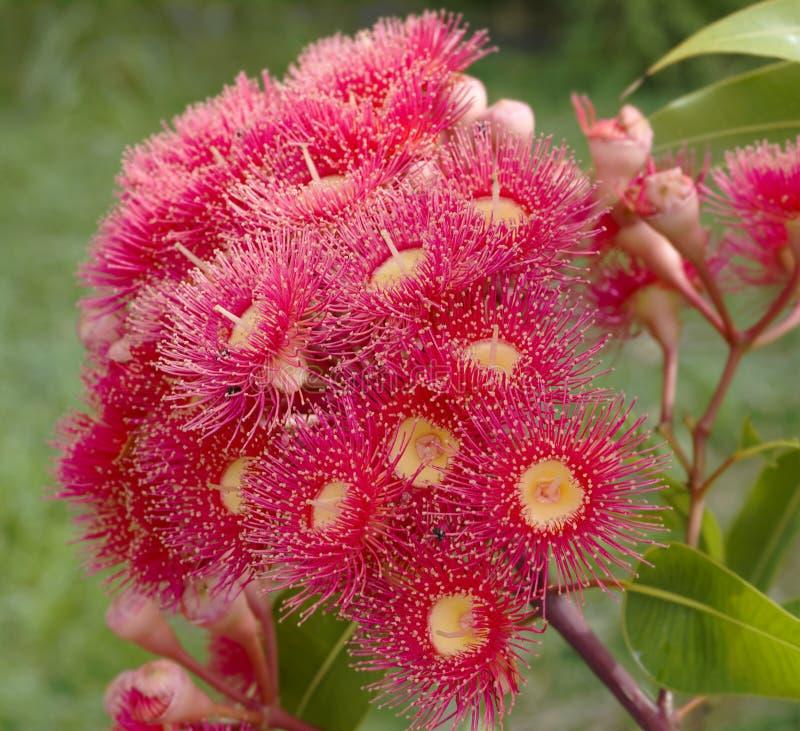 Nativo australiano vermelho do verão do eucalipto fotos de stock