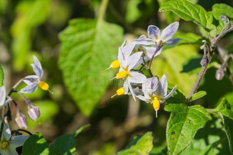 Nativo bifurcado do furcatum do Solanum do Nightshade a Ámérica do Sul, introduzida em Califórnia fotografia de stock