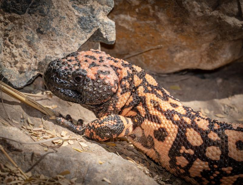 Nativo do lagarto peçonhento do suspectum do Heloderma do monstro de Gila ao Estados Unidos do sudoeste imagens de stock royalty free