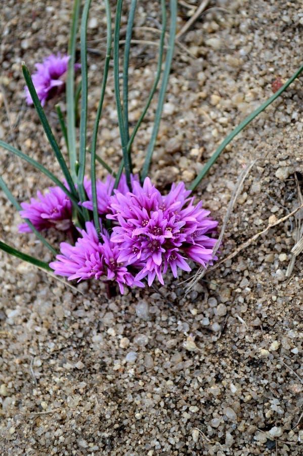 Nativo raro della specie in pericolo di estinzione di Aaseae dell'allium nell'Idaho immagine stock