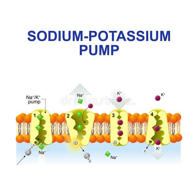 Natrium-kalium pump royaltyfri illustrationer