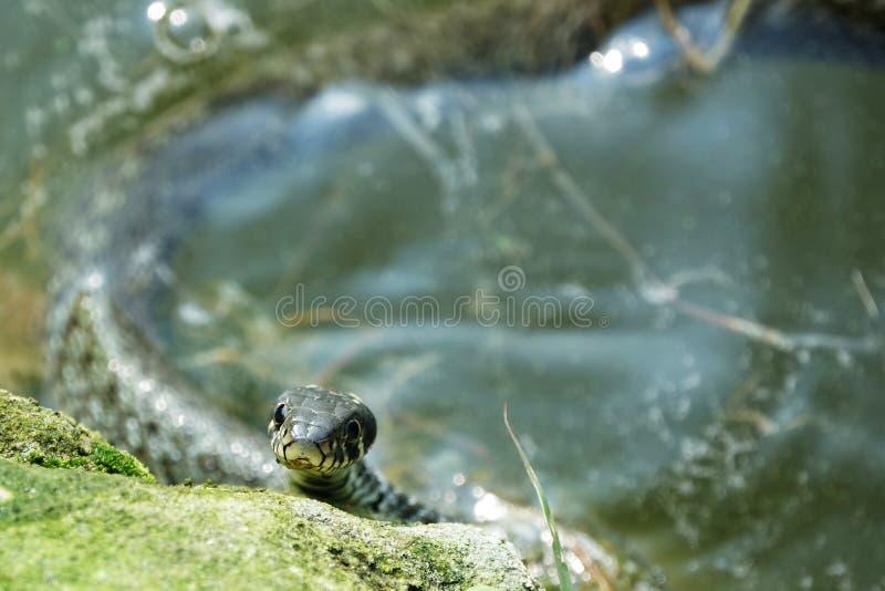 Natrix de Natrix dans l'eau images stock