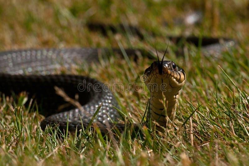 Natrix de Natrix de serpent d'eau photographie stock