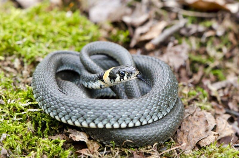 Natrix rodeado da serpente de grama na floresta da mola imagem de stock