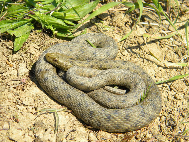 Natrix tessellata - Dice snake -. A dice snake (Natrix tessellata) a natural and relaxed posture royalty free stock images