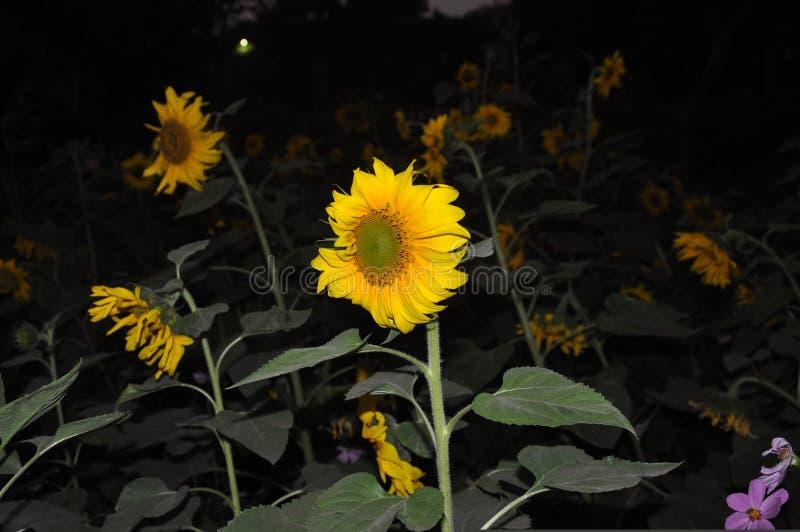 natt för solrosblommafotografi arkivbild