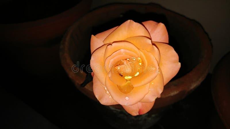 Natt för vit blomma royaltyfri fotografi