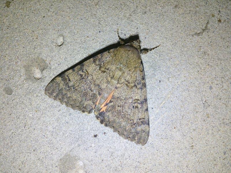 Natt fjäril som är härlig, kejsare, mal, silkmoth, vinge, bakgrund, vit, stort som är brun, makro, apelsin, natur, svart, afrikan royaltyfria foton
