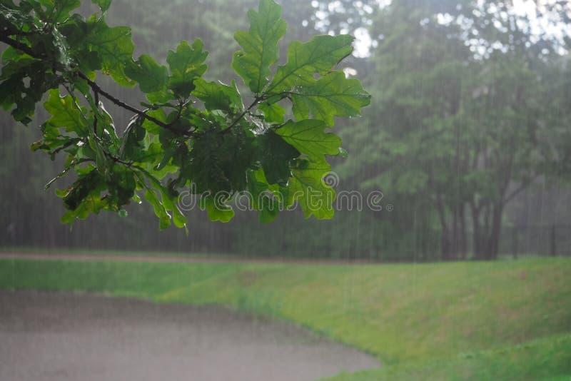 Natte eiken tak in de stortbui Regenachtergrond stock afbeeldingen