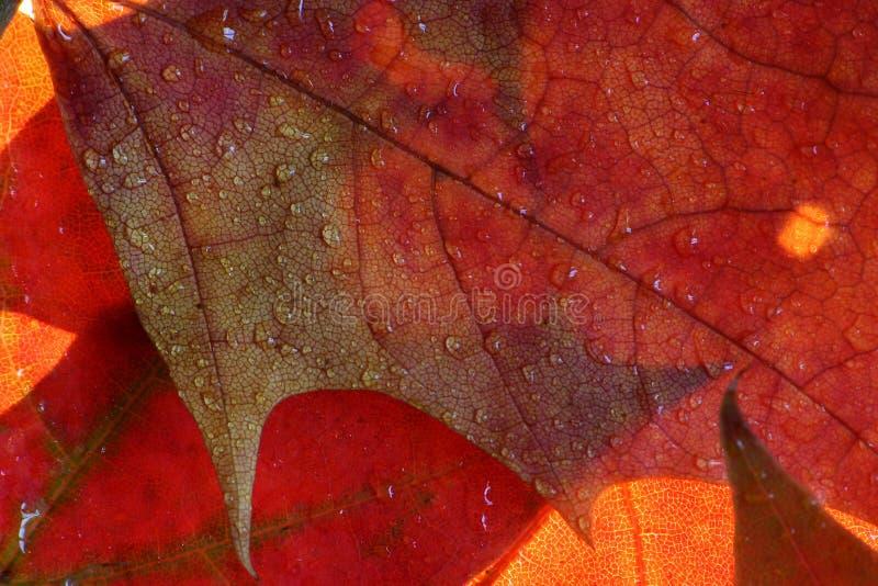 Natte esdoornbladeren stock foto's